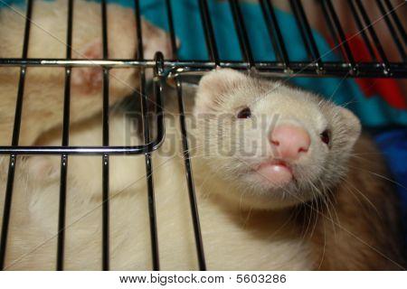 Ferrets in carrier