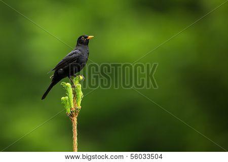 Blackbird - Male Common Blackbird (Turdus merula)