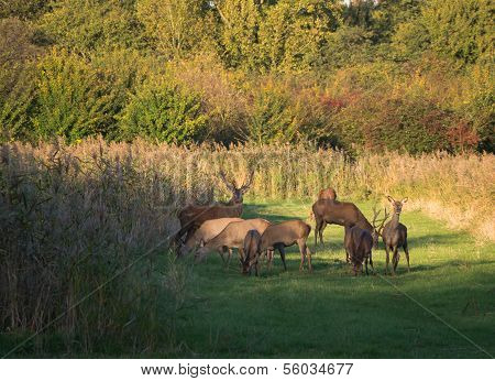 Herd Of Wary Deer In The Fall At Sunset