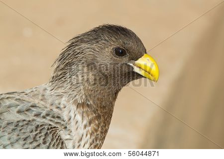 Portrait Of A Western-grey Plantain-eater