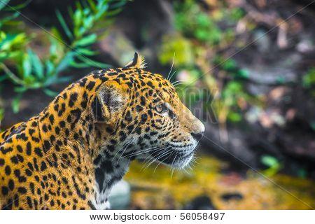 Beautiful Young Jaguar