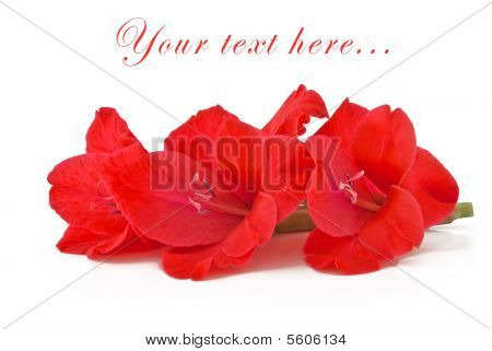 Beautiful Pink Flowers Of A Gladiolus On A White Background