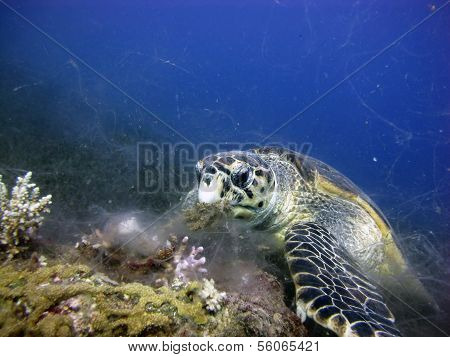 A sea turtle meal