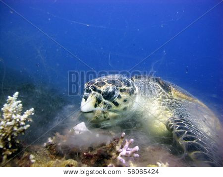Turtle eats soft coral
