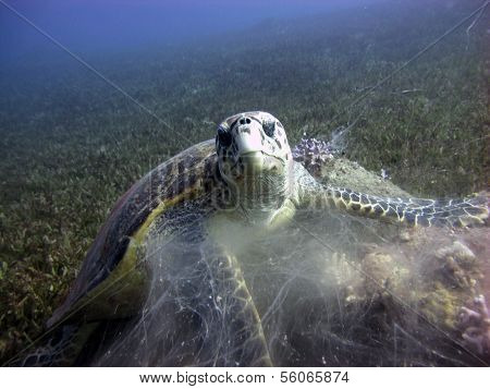 Hawksbill feeding on soft coral