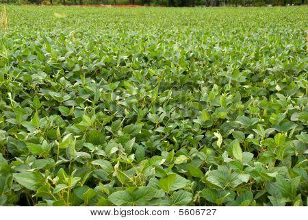 A green soybean field
