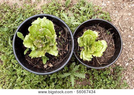 Lettuces On Plantpots.