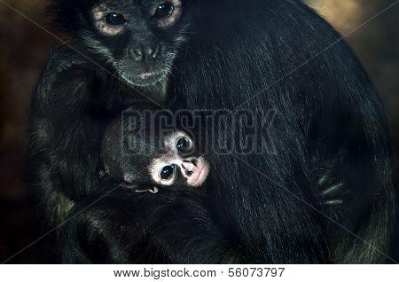 Baby Geoffroy's Spider Monkey