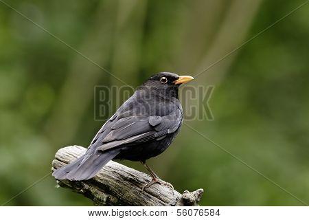 An adult male Blackbird (Turdus merula).