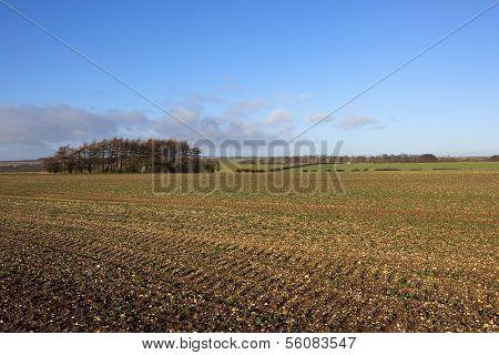 Scenic Canola Field