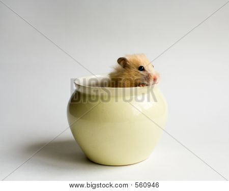 Hamster In The Pot