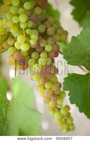 Green Grape Cluster On Vine