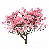 picture of sakura  - Sakura tree isolated on the white background - JPG