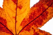 stock photo of transpiration  - detail of a yellow autumn leaf in backlight