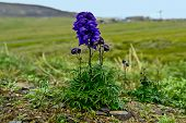 foto of chukotka  - Junggar aconite in the tundra of Chukotka - JPG