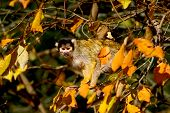 stock photo of marmosets  - Marmoset is in the trees and observation in autumnal scenery