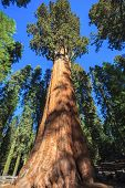 stock photo of sequoia-trees  - General Sherman  - JPG
