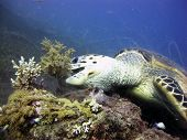 picture of hawksbill turtle  - A hawksbill sea turtle  - JPG