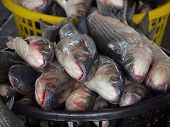 stock photo of mullet  - A large basket is filled with grey mullet fish - JPG