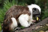 Feeding Monkey Apple poster
