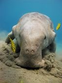picture of sea cow  - A Dugong dugon  - JPG