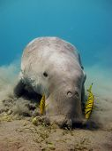 stock photo of sea cow  - A dugong dugon eats seagrass with a few juvenile pilot jacks - JPG