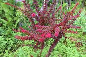 picture of barberry  - Bush of red leaves decorative barberry autumn - JPG