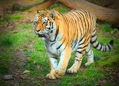 picture of siberia  - The Siberian Tiger - JPG