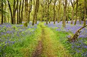 pic of fleet  - Footpath through the middle of a carpet of Bluebells in carstramon wood near gatehouse of fleet Dumfries and Galloway - JPG