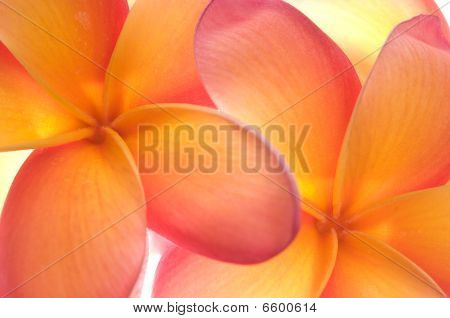 Frangipani Flowers Close Up