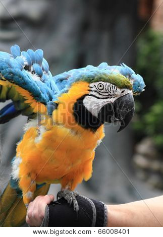 beautiful blue and yellow parrot