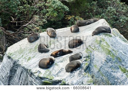Fur seals (Arctocephalus forsteri) colony in Milford Sound, Fiordland National Park. Southland - New Zealand