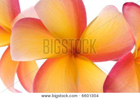 Vibrant Frangipani Flowers