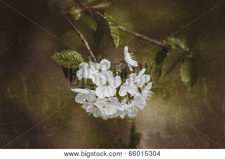 Wild pear blossom
