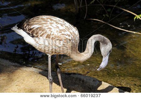 Greater flamingo.