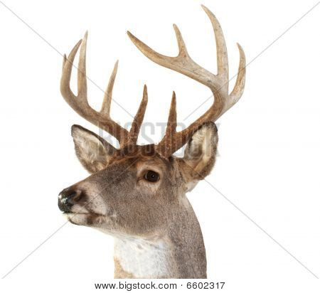 Whitetail Deer Head Looking Left