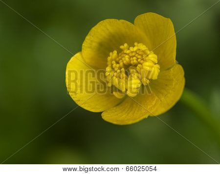 Buttercup Flower Bloom with Great Detail. Super close-up macro.