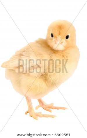 Newborn Chicken, Buff Orpington With Clipping Path.