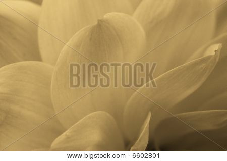 Monochrome Petals