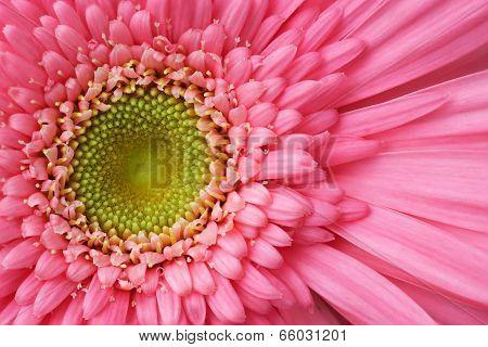 Pink Gerbera Detail