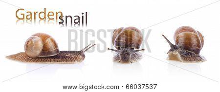 Set Of Garden Snail (helix Aspersa)