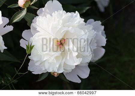 White Peony In The Garden In Bloom