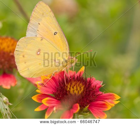 Colias eurytheme, Orange Sulphur butterfly, feeding on an Indian Blanketflower