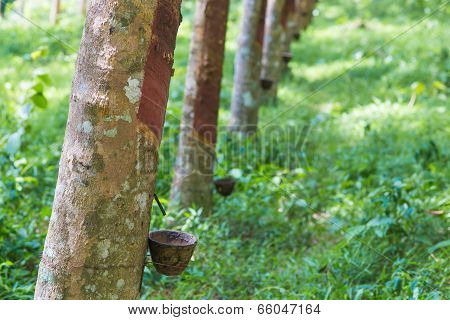 Close Up Of Rubber Tree