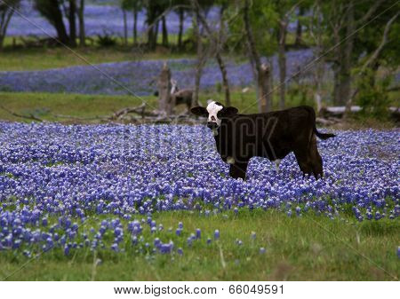 Cow in the Bluebonnets