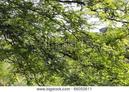 Green Leaves, Sun And Sky In The Pinewood  Near Marina Romea