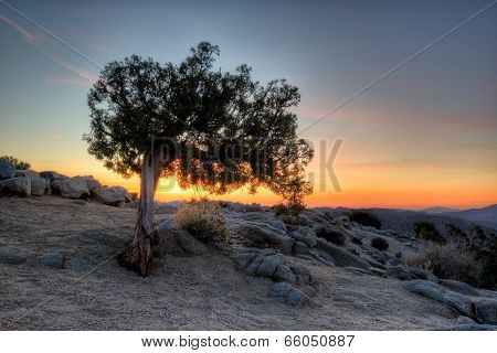 Juniper at Dawn