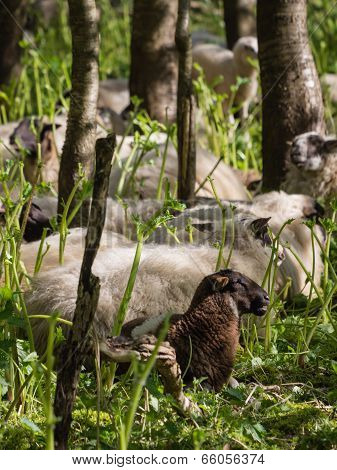 Sheep resting after eating hogweed