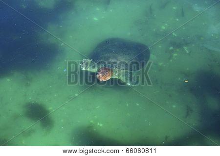 Florida softshelled Turtle (apalone ferox) 2