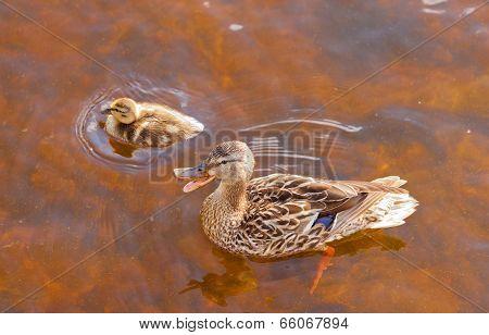 Mallard Anas Platyrhynchos Duckling Duck Quacking